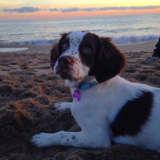Winter (Springer Spaniel Inglés)
