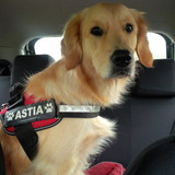 Astia (Golden Retriever)