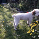 Linda (Spanischer Wasserhund)