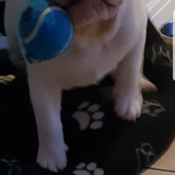 Aj (English Bulldog)