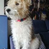 Elliot (Fox Terrier De Pelo Duro)