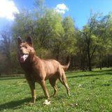 Zilda (Australian Kelpie)