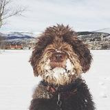 Bru - Perro de Agua Español