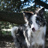 Aloy (Border Collie)