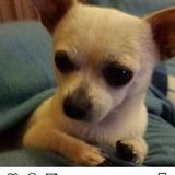 Golyat - Chihuahua