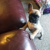 Lily (French Bulldog)