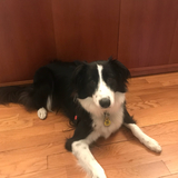 Ness (Border Collie)