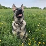 Indie (German Shepherd Dog)