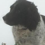 Archie (English Springer Spaniel)