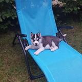 Bella (Sibirischer Husky)