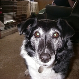 Corky (Border Collie)