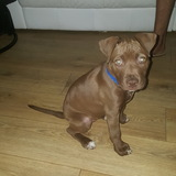 Noori (American Staffordshire Terrier)