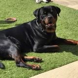 Bentley (Rottweiler)