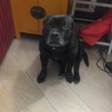 Diego (Staffordshire Bullterrier)
