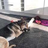 Lou (German Shepherd Dog)