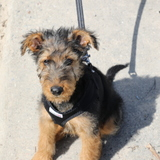 Hudson (Airedale Terrier)