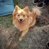 Lottie (Pomeranian)