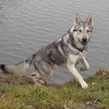 Shatoro (Saarlooswolfhund)