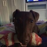 Marley (Border Terrier)