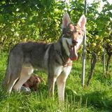 Thorin (Saarlooswolfhund)