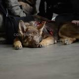 Freki (Saarlooswolfhund)