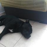 Marley (Staffordshire Bull Terrier)