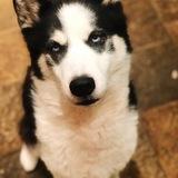 Toccoa  (Siberian Husky)