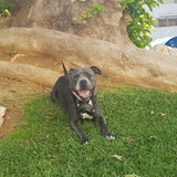 Chacho - American Staffordshire Terrier
