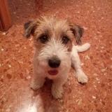 Milo - Jack Russell Terrier