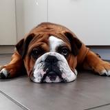 Butch (Bulldog Anglais)
