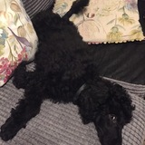 Guy (Poodle Miniature)