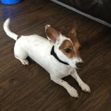 Odie  (Jack Russell Terrier)