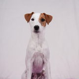 Anis (Parson Russell Terrier)