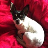 Bimba (Chihuahua)