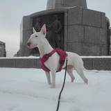 Beza (Bull Terrier Miniature)