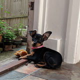 Ivy (Miniature Pinscher)