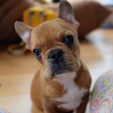 Brodie (French Bulldog)
