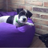 Tommy (Parson Russell Terrier)