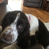 Layla (English Springer Spaniel)