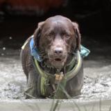Rebzee (Labrador Retriever)