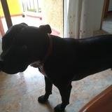 Tyson (Staffordshire Bull Terrier)