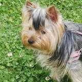 Lula (Yorkshire Terrier)