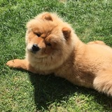 Norman  (Chow Chow)