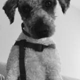 Otto - Perro de Agua Español