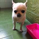 Panchito (Chihuahua)