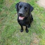 Marley (Labrador Retriever)