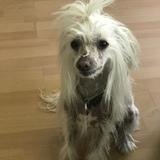 Rocco (Chinesischer Schopfhund)