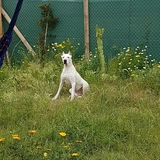 Bora (Dogo Argentino)