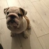 Nala (English Bulldog)