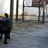 Chuck (Pug)